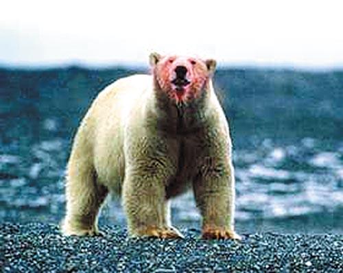 这个岛以其拥有世界上最大数量的太平洋海象,和最高密度的古代北极熊