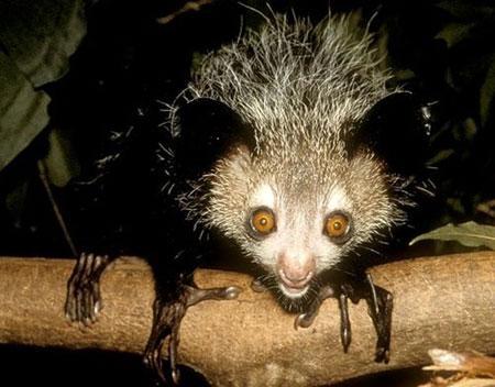 世界上最丑动物指狐猴濒临灭绝[组图]
