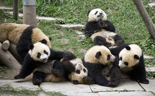 太可爱了!地震灾区熊猫快乐生活[5]