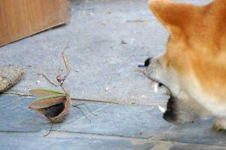 疯狂动物园花园螳螂