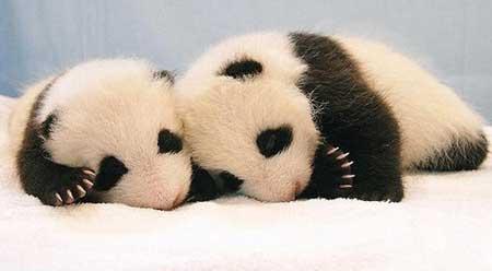图解熊猫成长过程; 熊猫宝宝成长记录